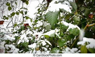 snow falls on plant