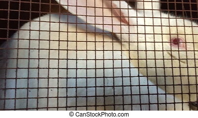 White hare in a mesh metal cage.