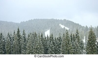 Snow falls in mountains on background of green fir tree forest