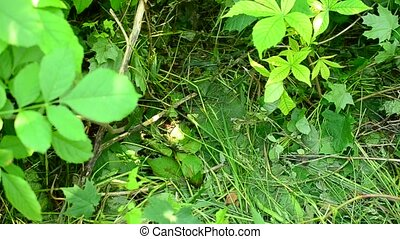 Adult hedgehog walks in a forest through lush green...