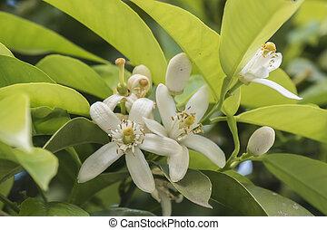 Orange blossom in spring, azahar flower
