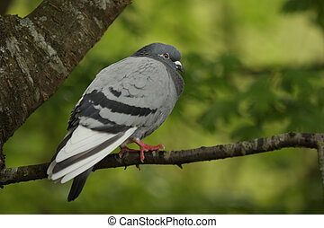 Feral pigeon in a tree