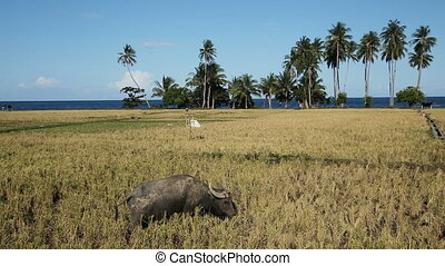 Bull in the rice field - Bull grazing on the rice field,blue...
