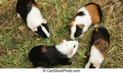 Guinea pigs eating grass. - Guinea pigs outdoors walking on...
