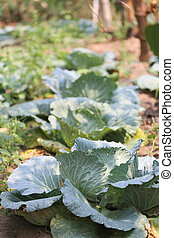 Collard or CABBAGE in the vegetable garden - Collard or...