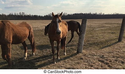 Many brown horse in the paddock. Video full hd.