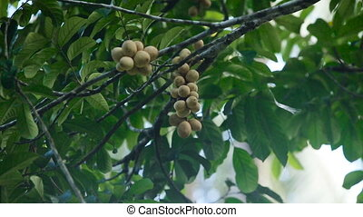 Tropical fruit lanzones, langsat. - langsat Thai fruit Bunch...