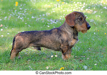 Dachshund Wire-haired on a green grass lawn - Typical...