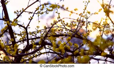 Spring time, dogwood branch blooming at sunset - The spring...