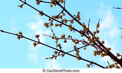 blooming branch on the sky background - The spring time,...