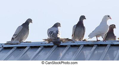 Pombos, telhado