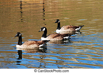 Geese Swimming in a Pond - Three Canadian Geese Swimming in...