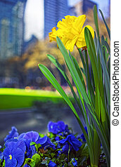 Yellow Narcissus and heartsease flowers in Bryant Park in...