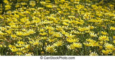 floral background of marguerite daisy, sunny day