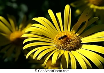 Bee fly from flower - Slow flight of bee from chamomile...