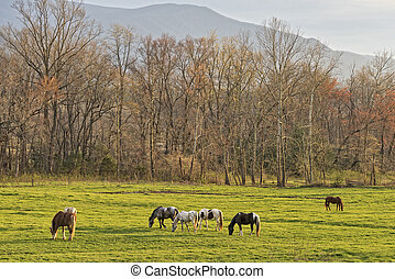 Horses Grazing At Sunset In Cades Cove - Horses Grazing At...