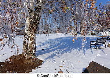 Snowy Park - An early snow caught birch trees with some...