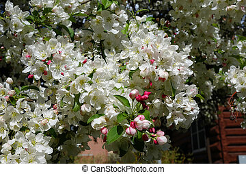 White Crab Apple - White crab apple blossoms welcome spring....