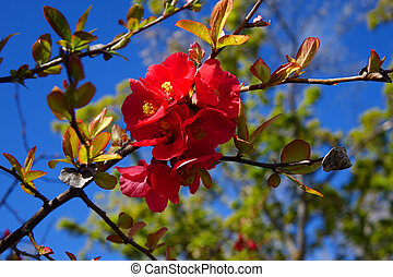 Blooming Crepe Myrtle - Red Crepe Myrtle blossoms brighten...