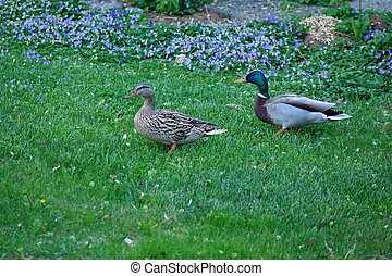 Mallard Duck & Drake - A Mallard duck and drake take a walk...