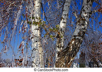 Frosted Birch Tree - An early frost caught these birch trees...