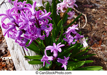 Purple Hyacinths - Hyacinths are some of the earliest...