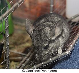 chinchilla - close-up chinchilla in the cage