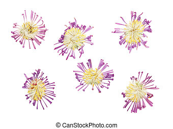 Pressed and dried delicate flower Symphyotrichum novi-belgii...