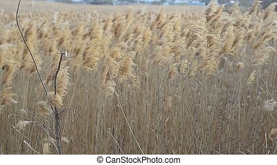 Reed swaying in the wind - Beautiful dry reeds swaying in...