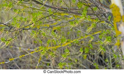 Maple tree in early spring - The first piece of paper on...