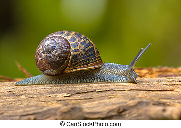 European brown garden snail Cornu aspersum crawling on wood...