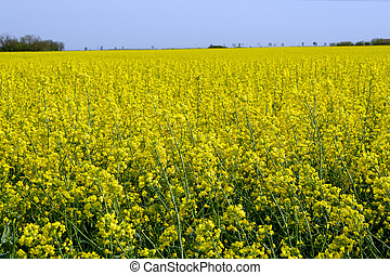 Rapeseed Brassica napus - The rapeseed Brassica napus field...