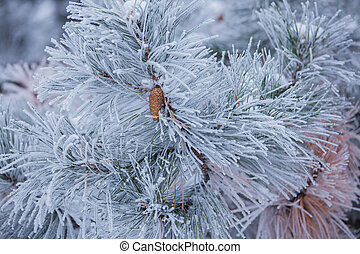 Branches with hoarfrost - Coniferous branches covered with...