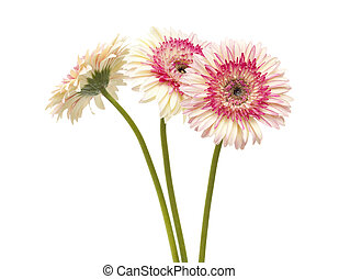 white and magenta gerbera flowers isolated on white...