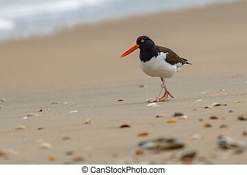 American oystercatcher Haematopus palliatus on the ocean...