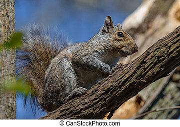 gray squirrel - An eastern gray squirrel rests on a tree...
