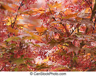 Red maple acer tree - Red maple acer Acer Rubrum aka swamp...