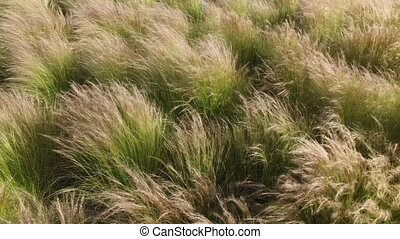 Wind is swaying grass on the meadow