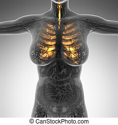 corporal, mulher, pulmões, ciência, anatomia, brilho