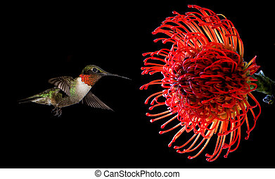 Hummingbird with tropical Waratah flower over black...