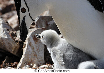 Chinstrap Penguins - Chinstrap Penguin with two chiks on the...