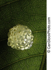 frog eggs - clutch of tree frog eggs hidden under a leaf...