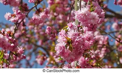 Blossoming Sakura tree in the breeze - Closeup view of a...