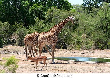 Animals drinking water in a National Parkin Africa