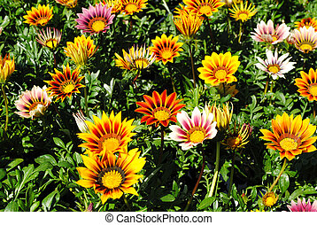 Colored Coneflowers - Brightly Colored Coneflowers or Hybrid...