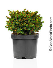 Picea abies Little Gem on white background