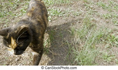 Cat walks on the green grass outdoors - Three color cat...