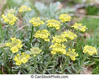 Immortelle - Helichrysum arenarium, dwarf everlas Field,...