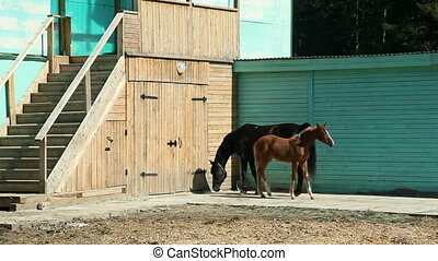 A black horse and a foal are galloping in the paddock - A...
