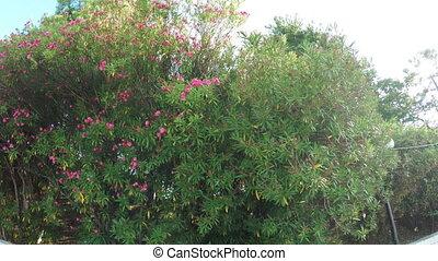 Blooming magnolia bushes - Camera moves past magnolia...
